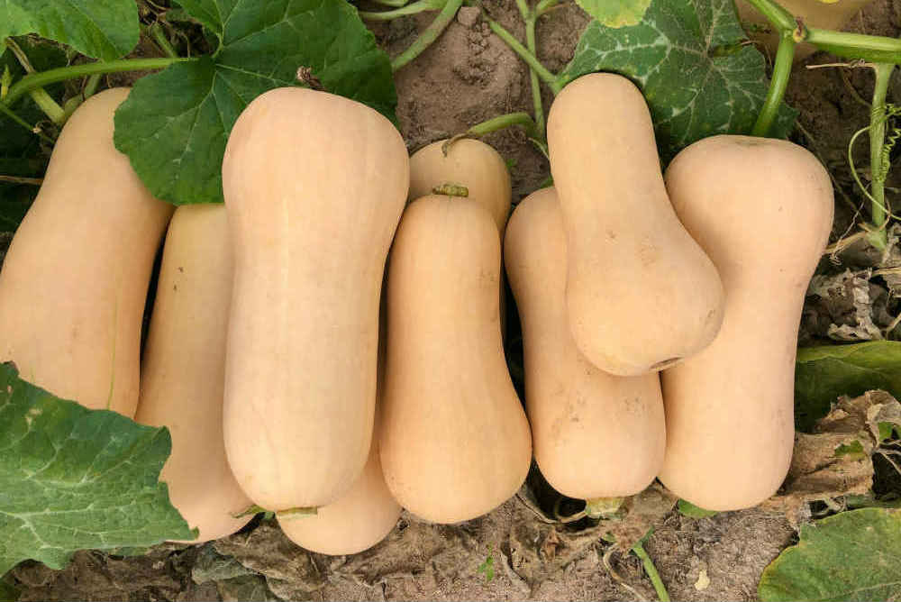 butternut-hard-squash-farm